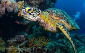 Coffs Ambassadors Tours- Green Turtle